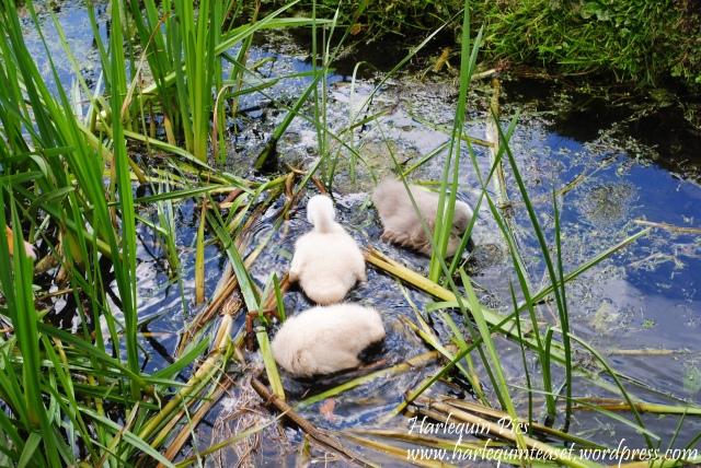swansies (1)