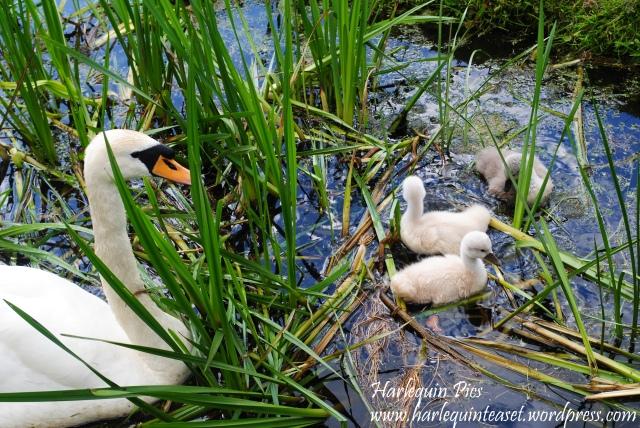 swansies (2)