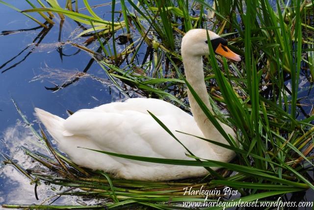 swansies (3)